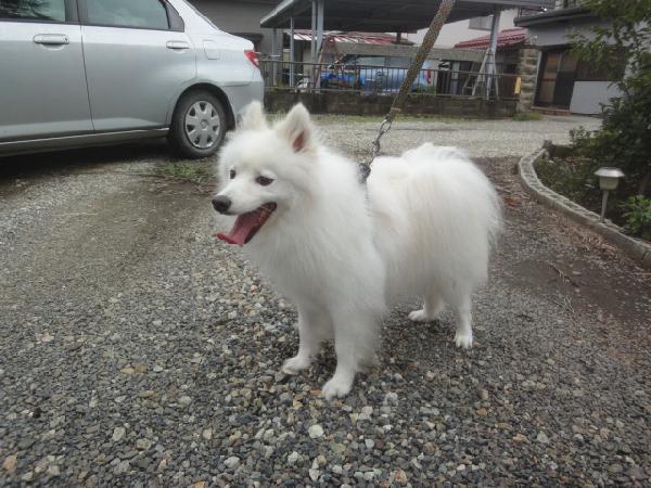 日本スピッツ(父犬)