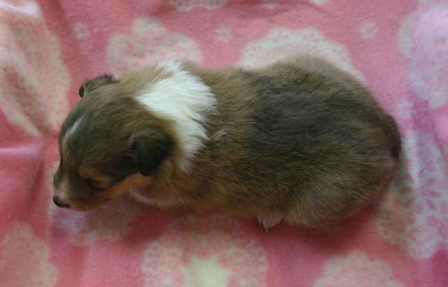 シェットランドシープドッグ(シェルティー、シェルティ)子犬販売、セーブル(セーブル&ホワイト)、男の子(オス)、2012年11月01日産まれ、ID121122220539