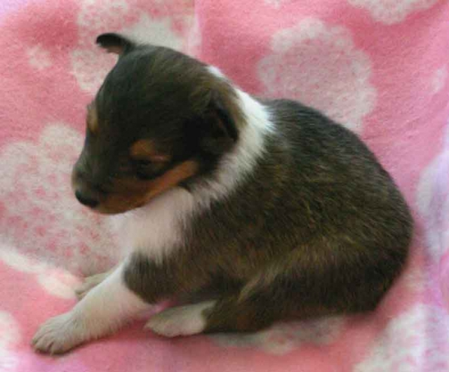 シェットランドシープドッグ(シェルティー、シェルティ)子犬販売、セーブル(セーブル&ホワイト)、女の子(牝,雌,メス,Female)、2012年11月01日産まれ、埼玉県ブリーダー、ID20121101003