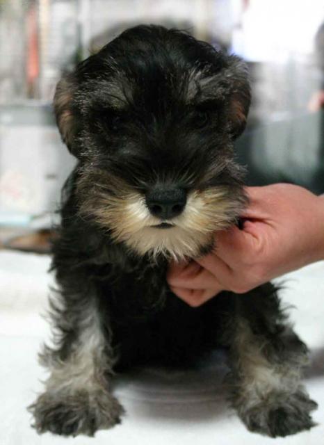 ミニチュアシュナウザー子犬販売、ソルト&ペッパー、女の子(メス)、2012年09月26日産まれ、神奈川県ブリーダー、ID130222579575