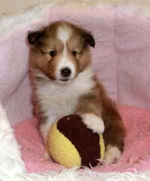 シェットランドシープドッグ(シェルティー、シェルティ)子犬販売、セーブル(セーブル&ホワイト)、フルカラー、男の子(オス)、2013年01月08日産まれ、ID130222310973