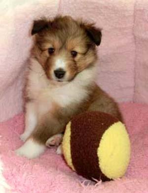 シェットランドシープドッグ(シェルティー、シェルティ)子犬販売、セーブル、フルカラー、女の子(メス)、2013年01月08日産まれ、神奈川県ブリーダー、ID130222579575