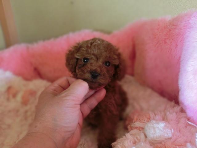 トイ・プードル、濃いレッド、メス、小さいサイズ、茨城県ブリーダー子犬販売、2013/02/12-001