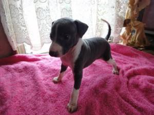 イタリアングレーハウンド子犬販売情報、女の子(メス)、ブルー&ホワイト、2012年08月26日生れ、栃木県ブリーダー、ID121010886942