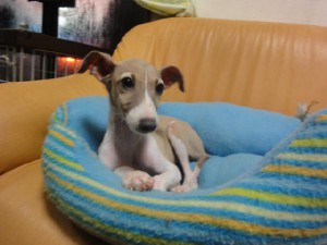 イタリアングレーハウンド子犬販売情報、男の子(オス)、フォーン&ホワイト、2012年09月21日生れ、栃木県ブリーダー、ID121210734619