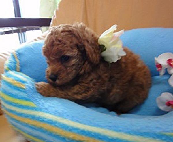 トイ・プードル、レッド、メス、栃木県ブリーダー子犬販売、2012/07/17-001