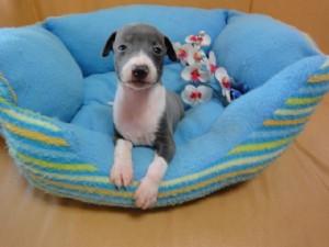 イタリアングレーハウンド子犬販売情報、男の子(オス)、ブルー&ホワイト、2012年08月26日生れ、栃木県ブリーダー、ID121010558887