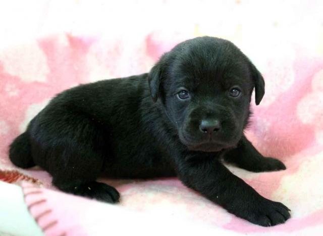 ラブラドールレトリーバー子犬販売、ブラック(黒ラブ)、男の子(オス)2012年10月27日産まれ、埼玉県ブリーダー、ID121122331591