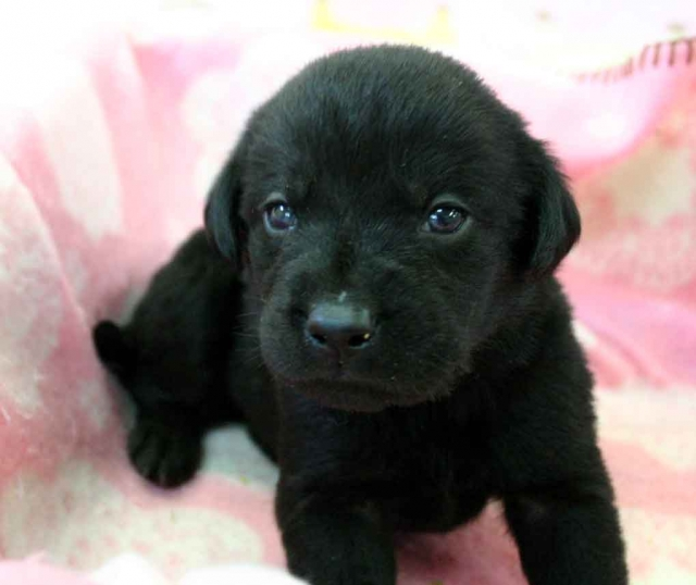 ラブラドールレトリーバー子犬販売、ブラック(黒ラブ)、男の子(オス)、2012年10月27日産まれ、埼玉県ブリーダー、ID121122538937