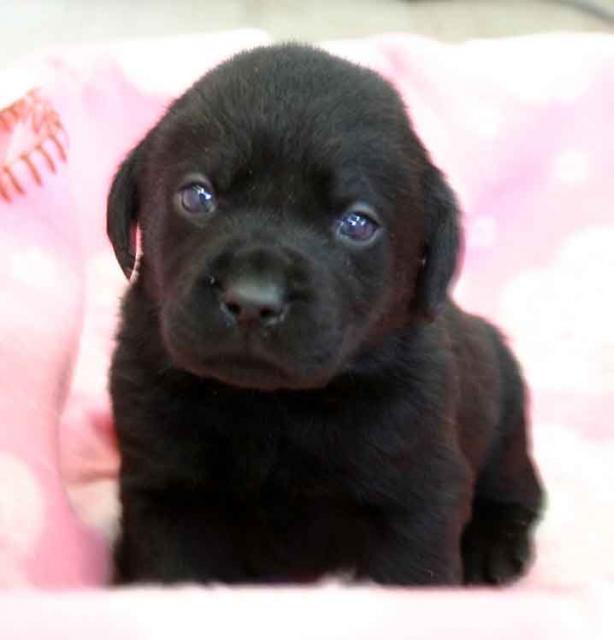 ラブラドールレトリーバー子犬販売、ブラック(黒ラブ)、男の子(オス)、2012年10月27日産まれ、埼玉県ブリーダー、ID121122821409