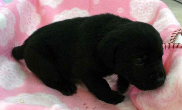 ラブラドールレトリーバー子犬販売、ブラック(黒ラブ)、女の子(メス)、2012年10月27日産まれ、埼玉県ブリーダー、ID121122949384