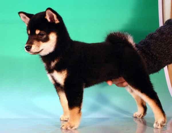 柴犬子犬販売、黒毛(黒柴)、女の子(メス)、2012年10月24日産まれ、千葉県ブリーダー、ID20121024-001
