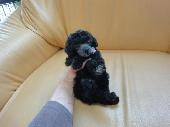 トイ・プードル、シルバー、メス、栃木県ブリーダー子犬販売、2012/11/06-001