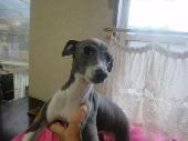 イタリアングレーハウンド子犬販売情報、女の子(メス)、ブルー&ホワイト、2012年09月26日生れ、栃木県ブリーダー、ID130104158325