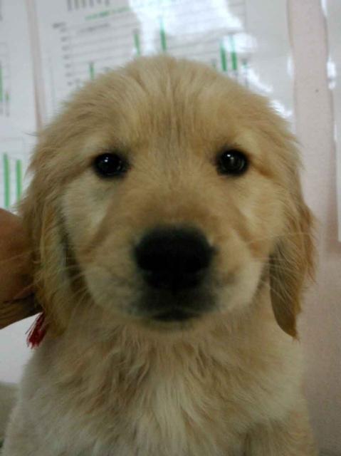 ゴールデンレトリーバー子犬販売、ゴールド、女の子(メス)、茨城県ブリーダー、ID130124521616
