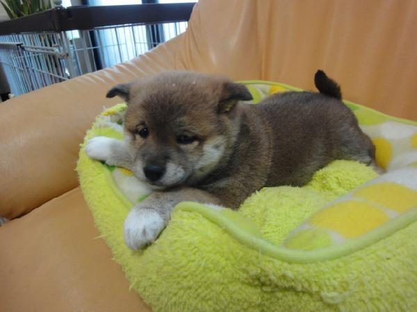 柴犬子犬販売、赤毛(赤柴)、女の子(メス)、2012年12月15日産まれ、栃木県ブリーダー、ID20121215-001