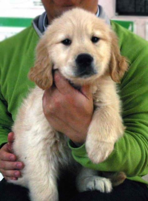 ゴールデンレトリーバー子犬販売、ゴールド、女の子(メス)、2012年11月16日産まれ、茨城県ブリーダー、ID130124651215