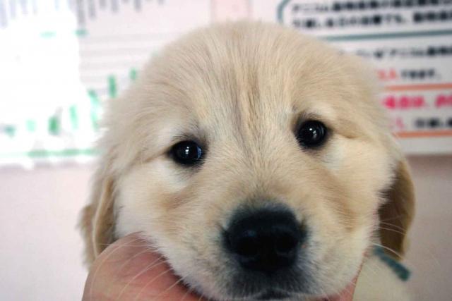 ゴールデンレトリーバー子犬販売情報、ゴールド、男の子(オス)、2012年12月04日産まれ、茨城県ブリーダー、ID130124759831