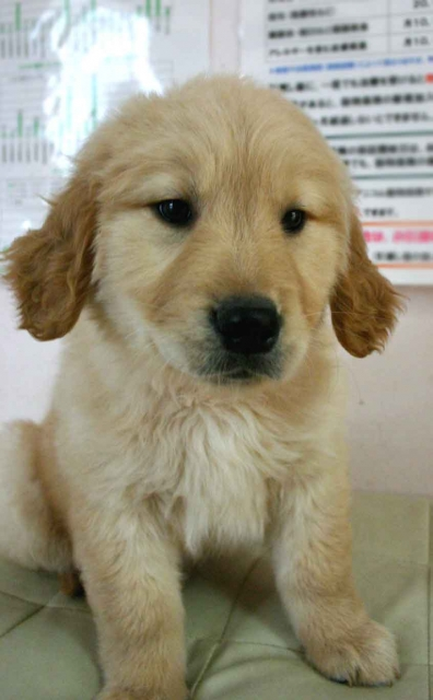 ゴールデンレトリーバー子犬販売、ゴールド、女の子(メス)、2012年11月16日産まれ、茨城県ブリーダー、ID130124926095