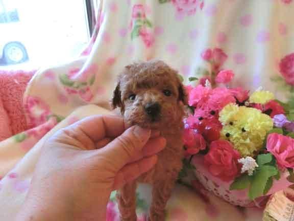 トイ・プードル、アプリコット、メス、ハイオンタイプ、茨城県ブリーダー子犬販売、2012/12/28-003