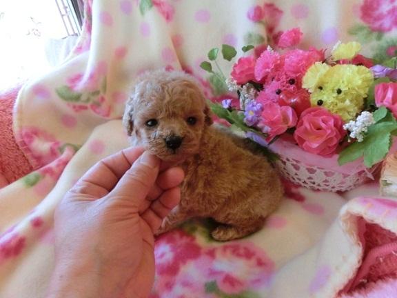 トイ・プードル、クリーム、メス、小さいサイズ、茨城県ブリーダー子犬販売、2012/12/28-002