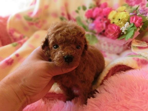 トイ・プードル、レッド、メス、小さいサイズ、茨城県ブリーダー子犬販売、2012/12/28-001