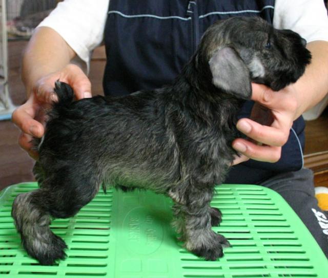 ミニチュアシュナウザー子犬販売、ソルト&ペッパー、男の子(オス)、2013年02月02日産まれ、神奈川県ブリーダー、ID20130202005