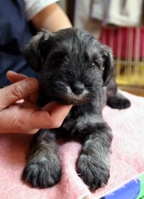 ミニチュアシュナウザー子犬販売、男の子(オス)、ソルト&ペッパー、2013年01月30日産まれ、神奈川県ブリーダー、ID130312446798