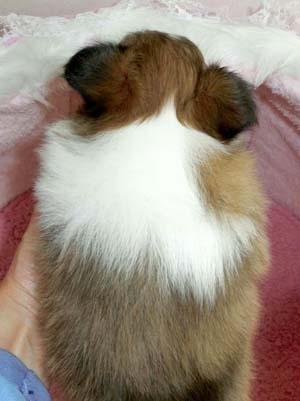 シェットランドシープドッグ(シェルティー)子犬販売情報、セーブル、男の子(オス)、2013年01月18日産まれ、神奈川県ブリーダー、ID130315215905