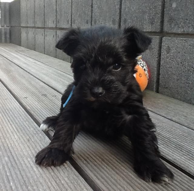 ミニチュアシュナウザー子犬販売、男の子(オス)、ブラック、2013年02月21日産まれ、静岡県ブリーダー、ID20130221004