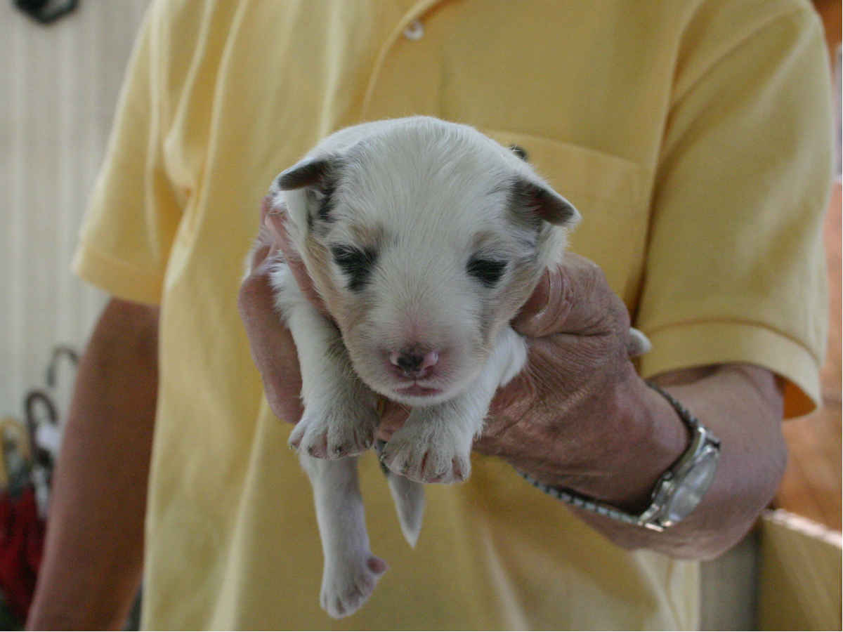 シェットランドシープドッグ(シェルティー)子犬販売情報、ブルーマール、男の子(オス)、2013年05月10日産まれ、埼玉県ブリーダー、ID130525001