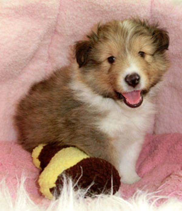 シェットランドシープドッグ(シェルティー)子犬販売情報、セーブル、フルカラー、男の子(オス)、2013年03月12日産まれ、神奈川県ブリーダー、ID1304190001