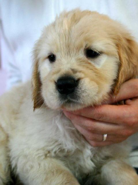 ゴールデンレトリーバー(レトリバー)子犬販売情報、女の子(メス)、ゴールド、2012年09月22日生れ、茨城県ブリーダー、ID121104166327
