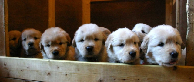 ゴールデンレトリーバー子犬販売、ゴールド、オス1、メス4、2012年09月30日産まれ、茨城県ブリーダー、ID121104190554