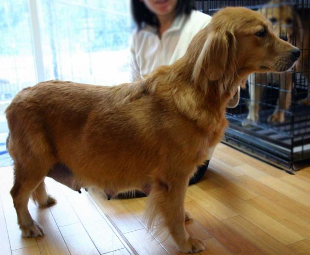 ゴールデンレトリーバー子犬販売、ゴールド、母犬、茨城県ブリーダー、ID121104190554、ID121104599146、ID121104281335、ID121104115638