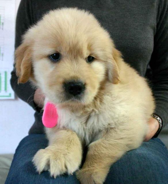 ゴールデンレトリーバー子犬販売情報、ゴールド、女の子(メス)、2012年09月30日産まれ、茨城県ブリーダー、ID121104227717