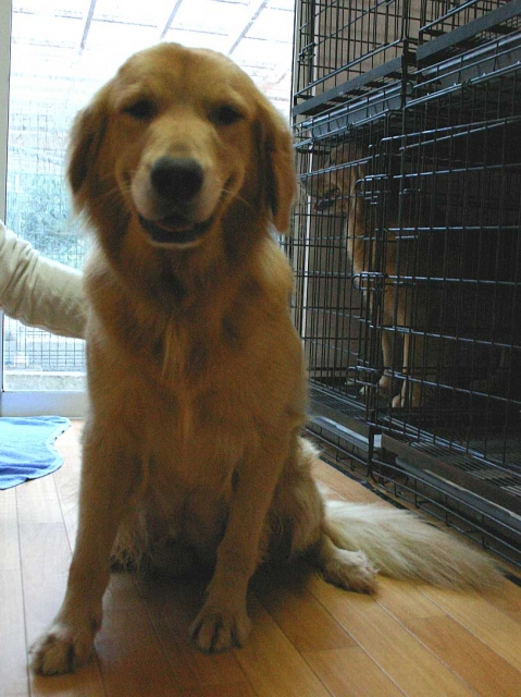 ゴールデンレトリーバー子犬販売、母犬、茨城県ブリーダー、ID121104937834、ID121104791452、ID121104359835