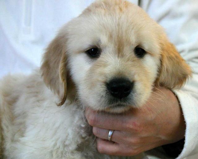 ゴールデンレトリーバー子犬販売、ゴールド、男の子(オス)、2012年09月22日生れ、茨城県ブリーダー、ID121104521992