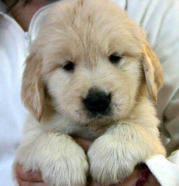 ゴールデンレトリーバー(レトリバー)子犬販売情報、男の子(オス)、ゴールド、2012年09月22日生れ、茨城県ブリーダー、ID121104726068