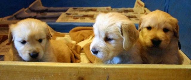 ゴールデンレトリーバー子犬販売、オス、ゴールド、2012年10月04日生れ、茨城県ブリーダー、ID121104937834