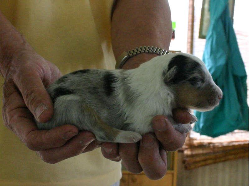 シェットランドシープドッグ(シェルティー)子犬販売情報、ブルーマール、男の子(オス)、2013年05月10日産まれ、埼玉県ブリーダー、ID130525002