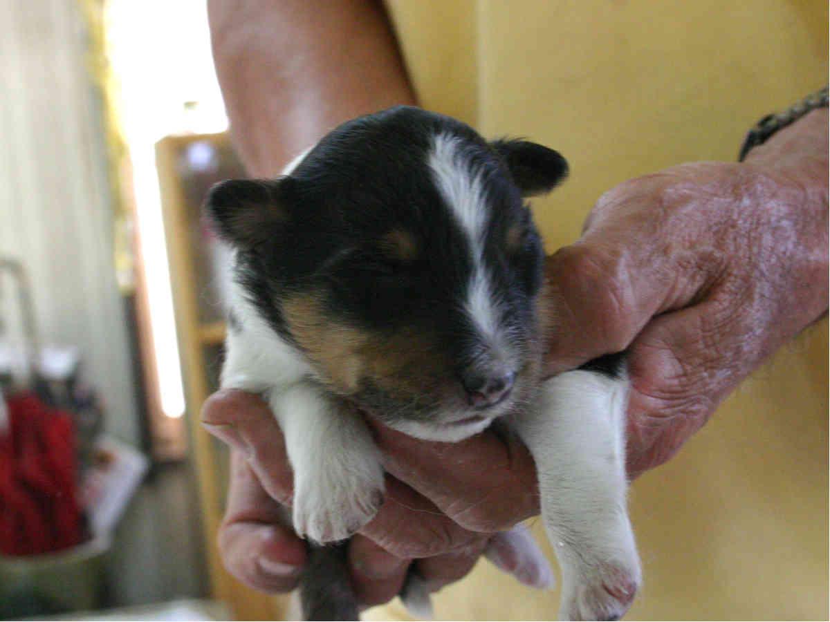シェットランドシープドッグ(シェルティー)子犬販売情報、トライカラー、男の子(オス)、2013年05月10日産まれ、埼玉県ブリーダー、ID130525003