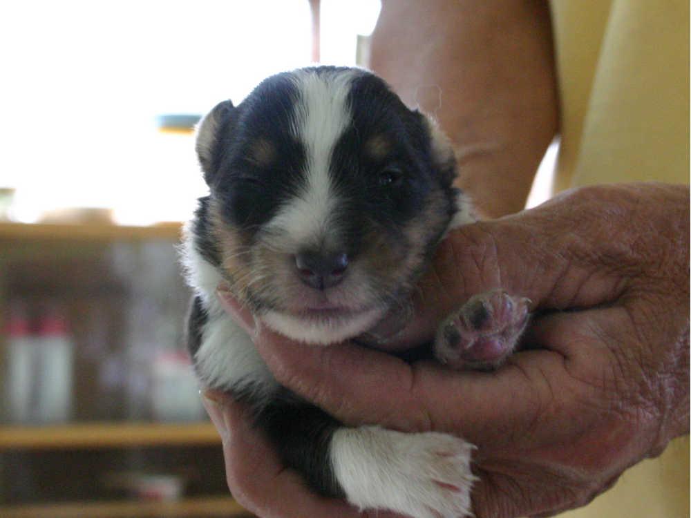 シェットランドシープドッグ(シェルティー)子犬販売情報、トライカラー、男の子(オス)、2013年05月10日産まれ、埼玉県ブリーダー、ID130525004