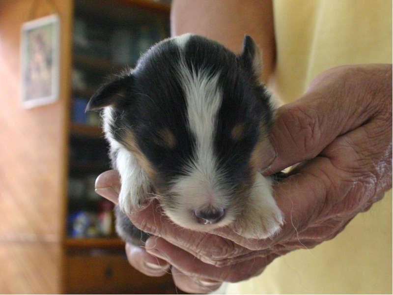 シェットランドシープドッグ(シェルティー)子犬販売情報、トライカラー、男の子(オス)、2013年05月10日産まれ、埼玉県ブリーダー、ID130525005