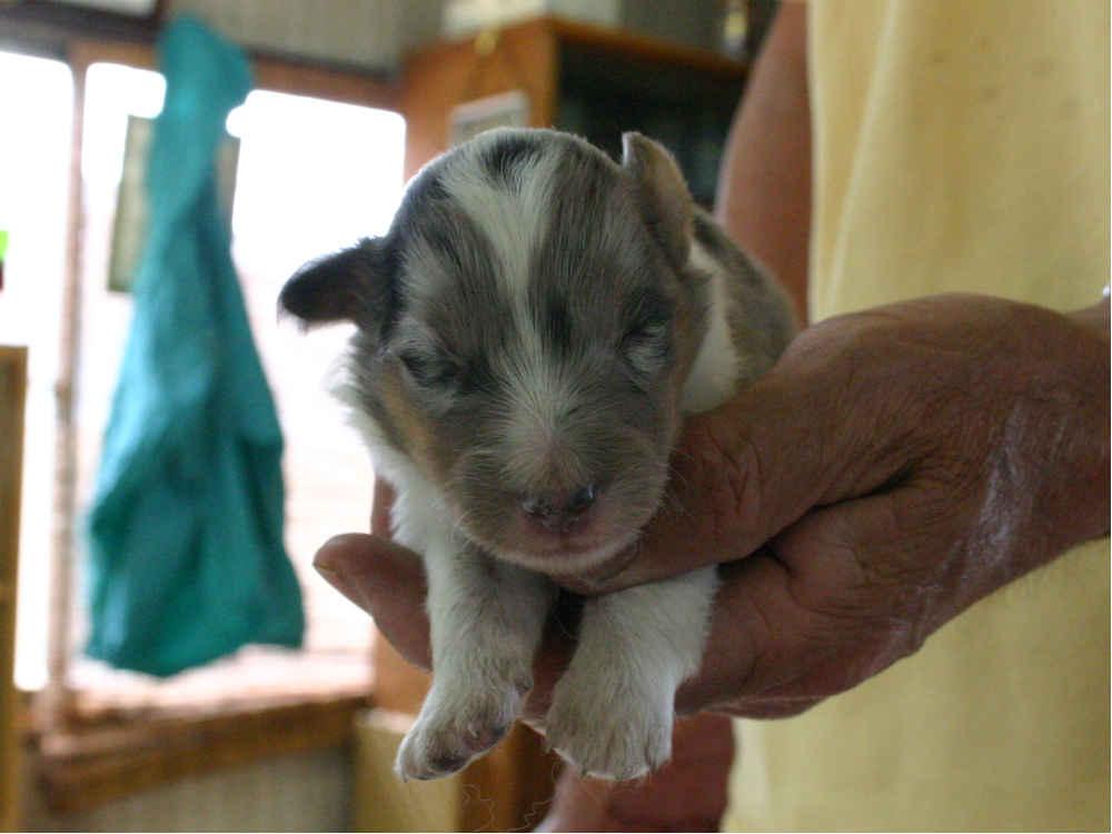 シェットランドシープドッグ(シェルティー)子犬販売情報、ブルーマール、男の子(オス)、2013年05月10日産まれ、埼玉県ブリーダー、ID130525006