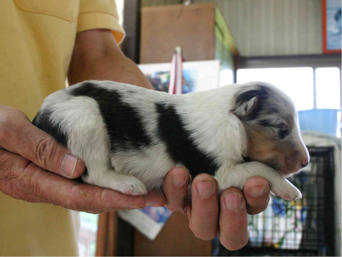 シェットランドシープドッグ(シェルティー)子犬販売情報、ブルーマール、男の子(オス)、2013年05月10日産まれ、埼玉県ブリーダー、ID130525007