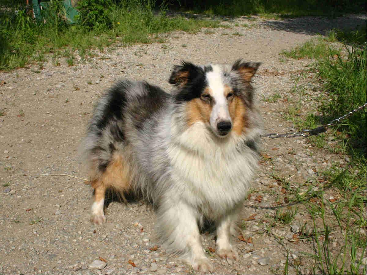 シェットランドシープドッグ(シェルティー)子犬販売情報、母犬、ブルーマール、埼玉県ブリーダー、ID130525004、ID130525005、ID130525006、ID130525007