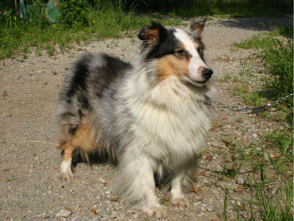 シェットランドシープドッグ(シェルティー)子犬販売情報、母犬、ブルーマール、埼玉県ブリーダー、ID130525004、ID130525005