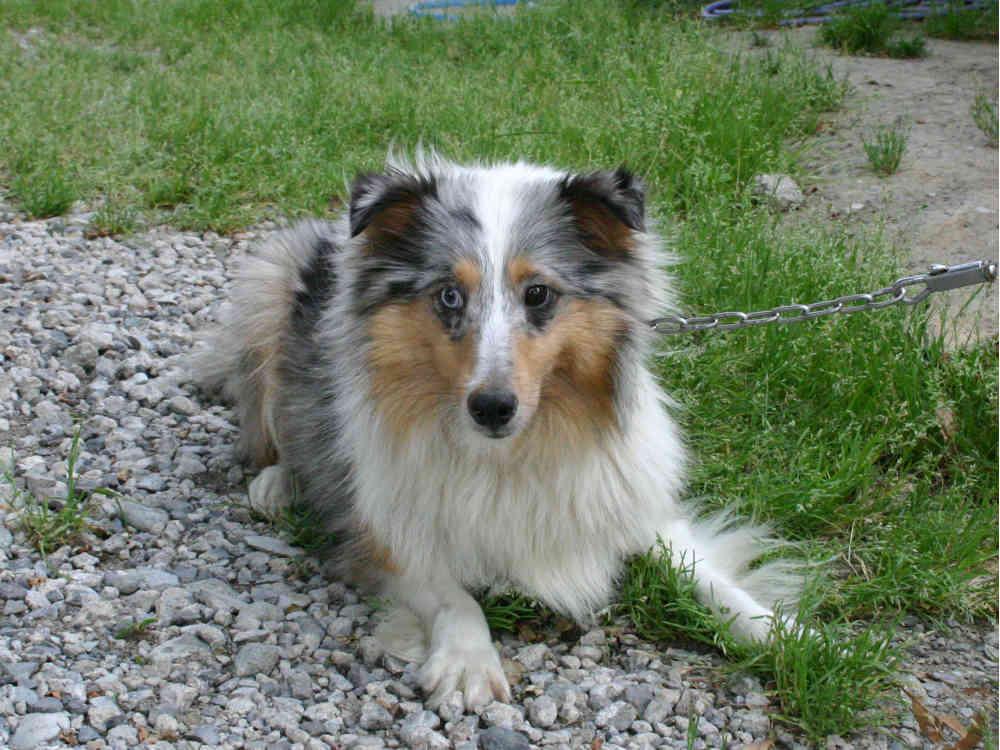 シェットランドシープドッグ(シェルティー)子犬販売情報、母犬、ブルーマール、埼玉県ブリーダー、ID130525001、ID130525002、ID130525003