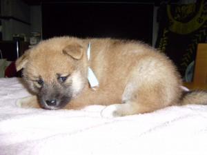 柴犬子犬販売、赤毛(赤柴)、男の子(オス)、2013年03月18日産まれ、大阪府ブリーダー、ID20120318-002